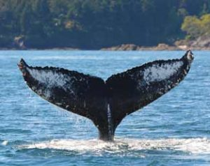 Whale Watching Vancouver with Steveston Seabreeze Adventures